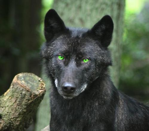 black wolf with green eyes - photo #2